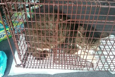 【ぬこネコ日記】:脱腸のノラ猫